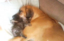 Great dane and kitten